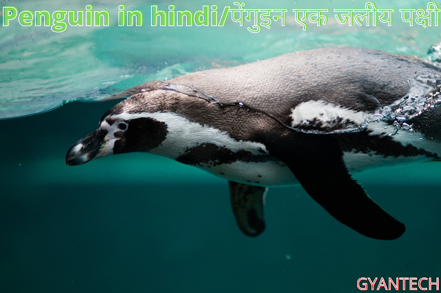 Penguin in hindi/पेंगुइन एक जलीय पक्षी