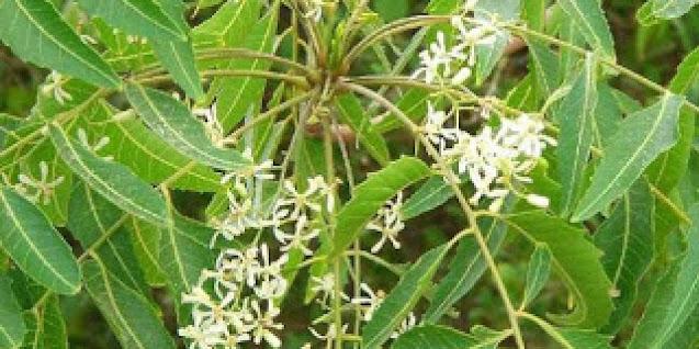 Dried neem flowers , வேப்பம்பூ(Vepampoo)