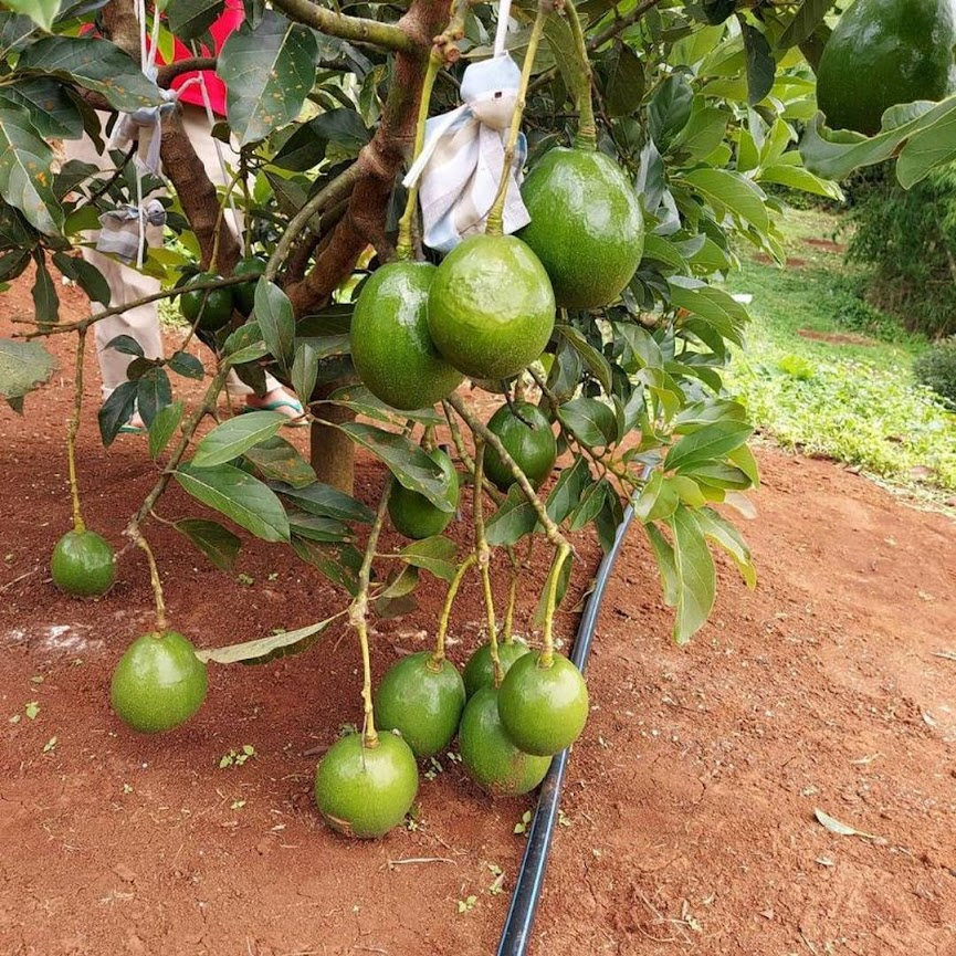Bibit tanaman Buah Alpukat Miki BELI 3 BONUS 1 BIBIT ANGGUR Jawa Tengah