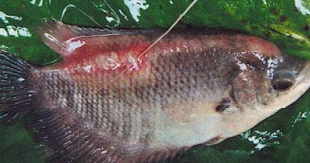 Talitakum Indonesia Berikut Ini Penyakit Yang Paling Sering Ditemukan Pada Ikan Gurame Beserta Pengendaliannya