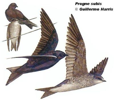 Golondrina purpúrea Progne subis