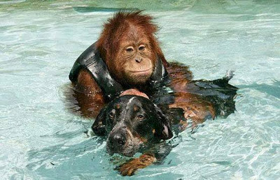 Depressed Orangutan Cured By Helping a Dying Dog