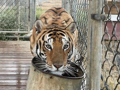सपने में बाघ देखने का क्या मतलब होता है?