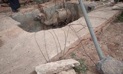 بالصور سقوط رؤوس ابل تابعة للرحل باحدى المطفيات الخاصة باقليم اشتوكة ايت باها