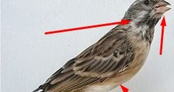 Trik Ampuh Untuk Membedakan Jantan Betina Burung Blackthroat Kicau Mania