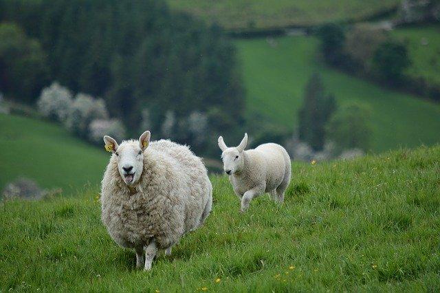 Tentative record tonte de moutons
