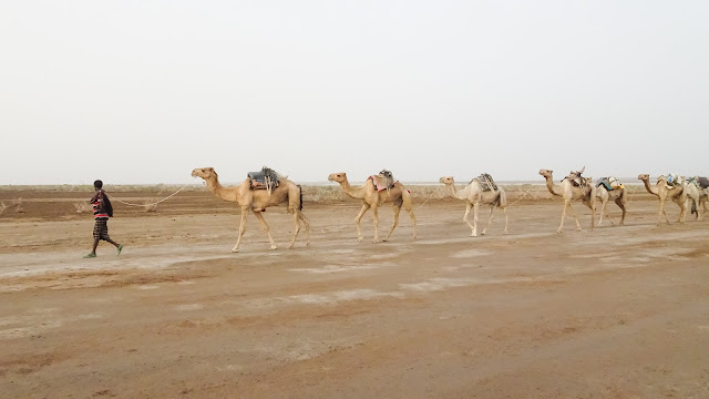 They transport the salt through the Danakil Depression