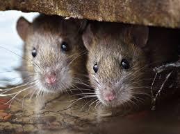 diệt chuột tại hưng yên