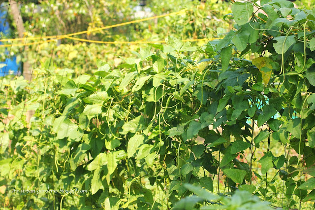 The Urban Gardener | Beans at Marari Beach vegetable garden