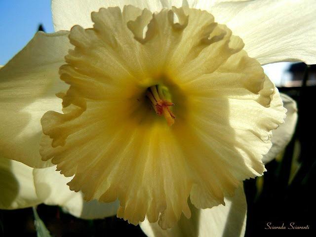 Narciso con i petali illuminati dal sole