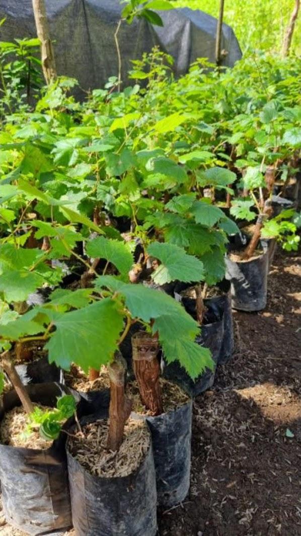 bibit anggur import shine muscat japan ori bibit anggur stek grafting bibit anggur murah Kota Administrasi Jakarta Utara