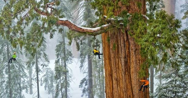 sequoia-gigante
