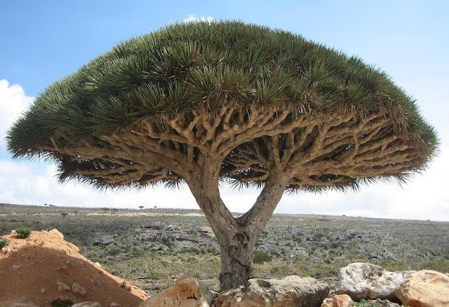 Pohon Unik : Pohon Darah Naga