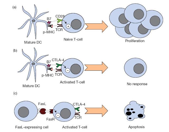 Downregulation of T‐cell responses