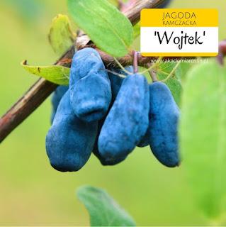 Owoce jagody kamczackiej odmiany Wojtek