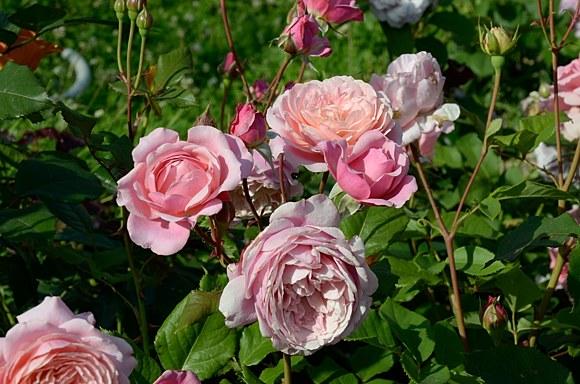 Prix P.J. Redoute роза сорт фото купить минск