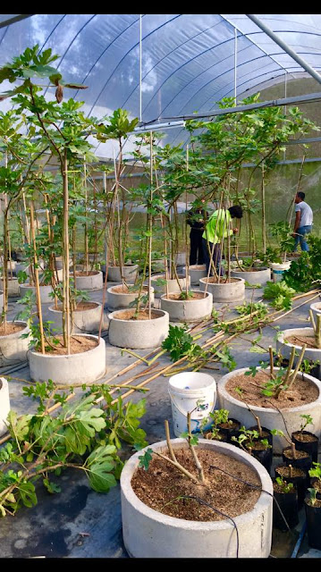 Prunning Figs Methode