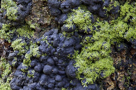 Kohlenbeeren (Hypoxylon spec.) und Moos auf Baumstrunk