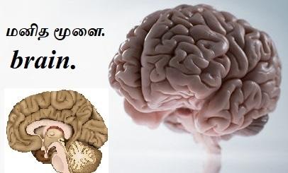 பிட்யூட்டரி சுரப்பி - ஹைப்போபைஸிஸ். Pituitary Gland - Hypophysis. Part - 1.