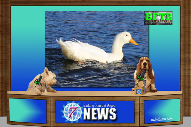 BFTB NETWoof News report on a duck and dog