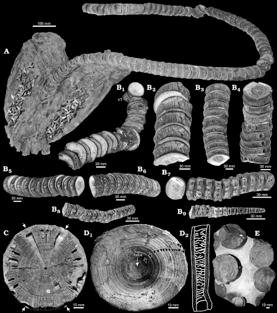 Cretoxyrhina fossils from Newbrey et al. (2013) of G.F. Sternberg's 1950 discovery, FHSM VP-323, and another fossil, FHSM VP-2187