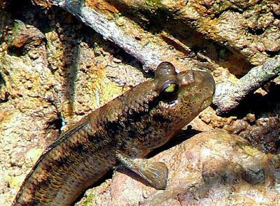 Ikan Tembakul, ikan yang hidup berjlan melompat bernafas di udara daratan