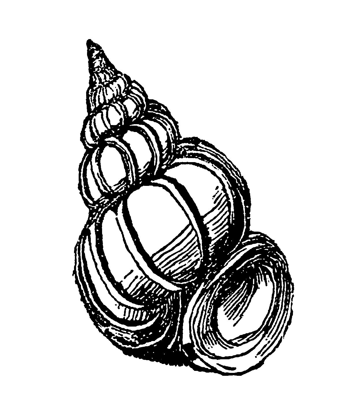 Digital Stamp Design Sea Shell Illustrations Free