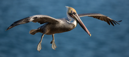 Brown Pelican Gliding