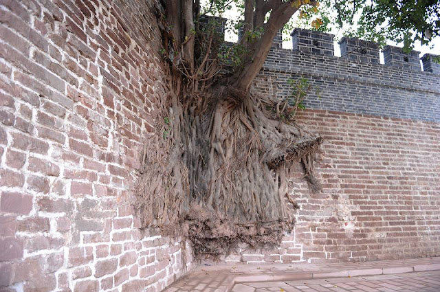 tree really growing out of a wall