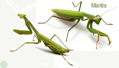 mantis, mantis insect
