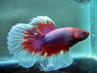 ikan hias cupang untuk aquarium