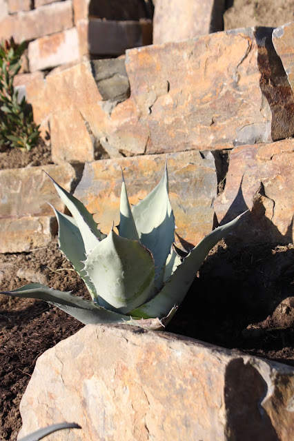 "Agave ""Durango"" in the morning sun"