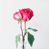 divna-roza-ruza-u-vazni