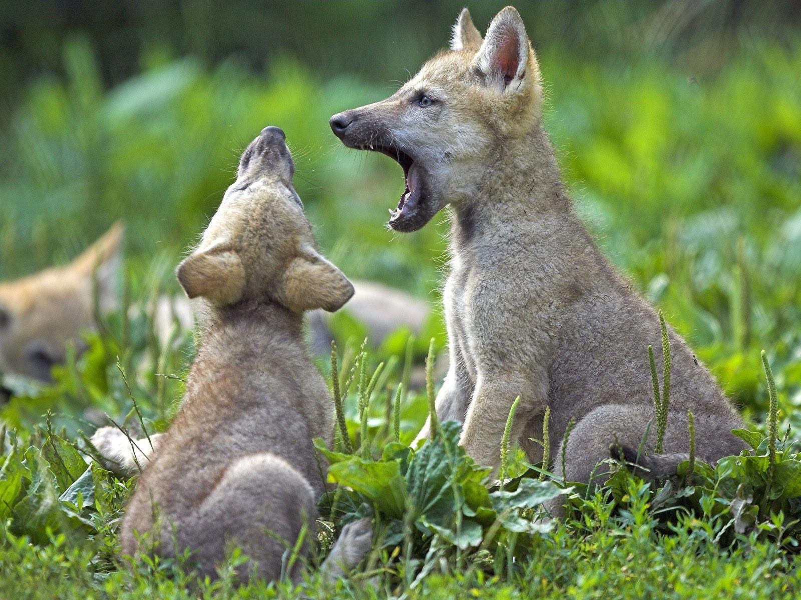 Wolves: The Biggest Animals Kingdom: Juli 2012
