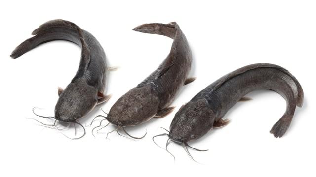 Ikan Lele Pemijahan