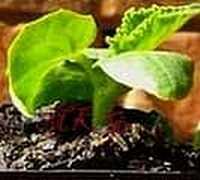 Picture of Cucumber Seedling