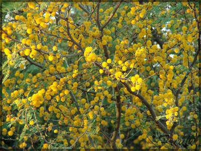Tusca Acacia aroma