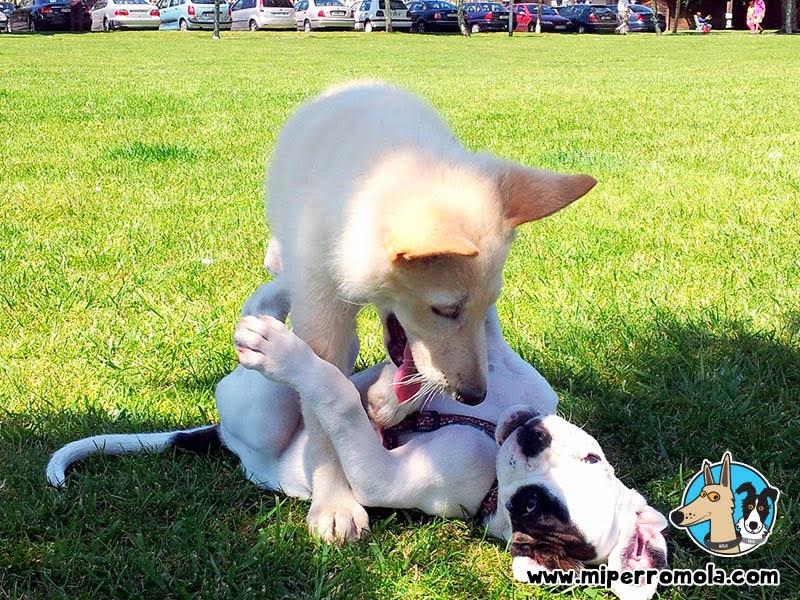 Can de Palleiro cachorro jugando con un Boxer