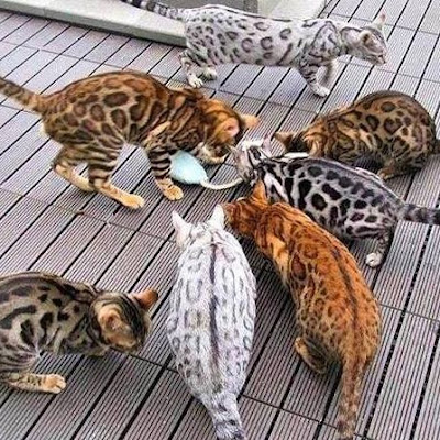 Pola Kucing Bengal