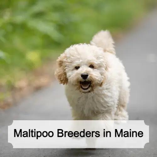Best Maltipoo Breeders in Maine