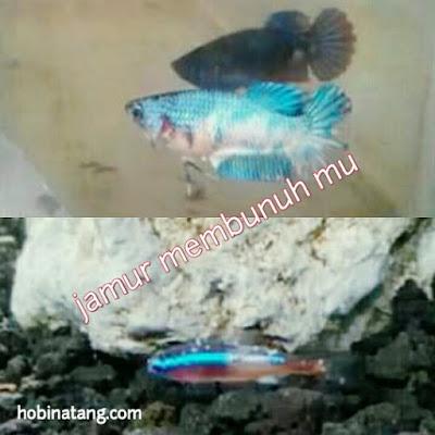 Jenis Penyakit jamur Ikan