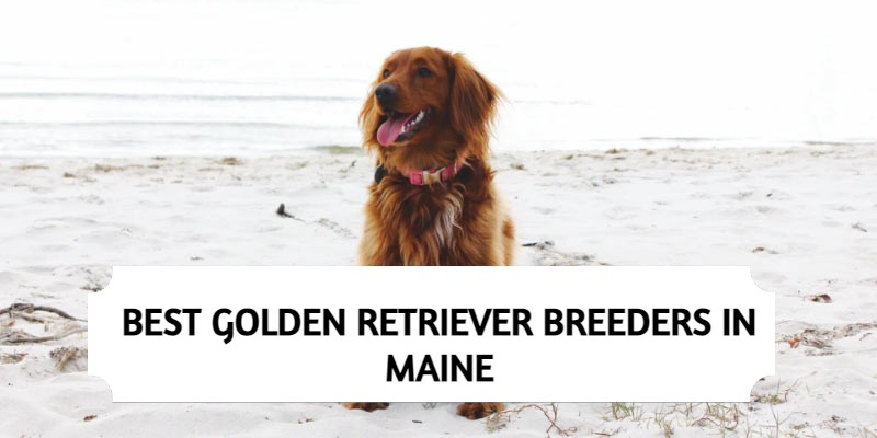 Best Golden Retriever Breeders in Maine
