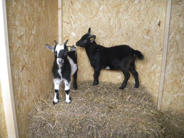 pygmy goats, goats