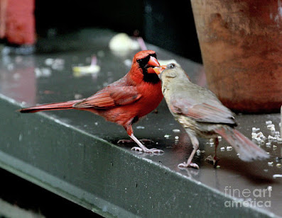 This is a screen shot of a photograph rendered on art paper and available via Fine Art America. It features a male cardinal (left) feeding a female cardinal (right). Info re this print is @ https://fineartamerica.com/featured/cardinal-love-2-patricia-youngquist.html?product=art-print