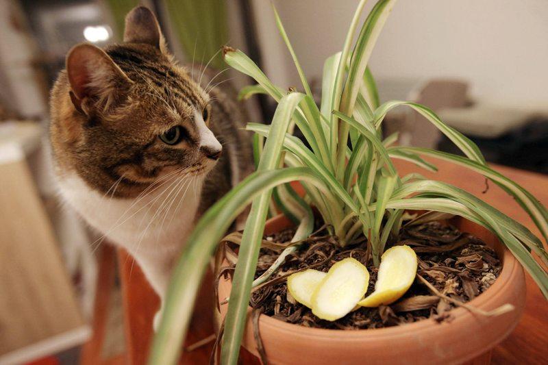 El truco de la cascarita de limón para que los gatos dejen en paz las plantas