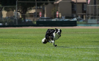 Zip the border collie lure coursing for the first time ever!