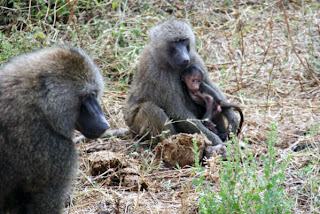 BABY BABOON WITH PARENTS