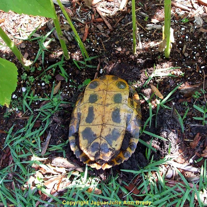 Underside of Painted Turtle in my Sunflower Garden