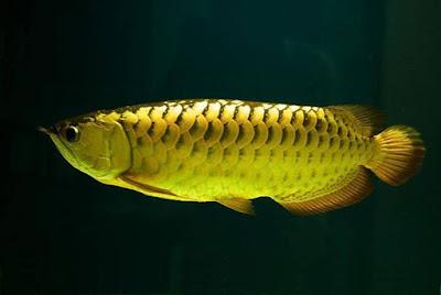 Arwana Golden