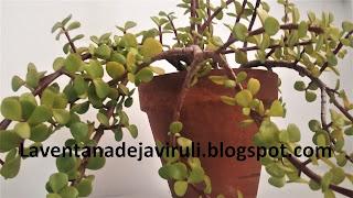 planta-arbol-de-la-moneda
